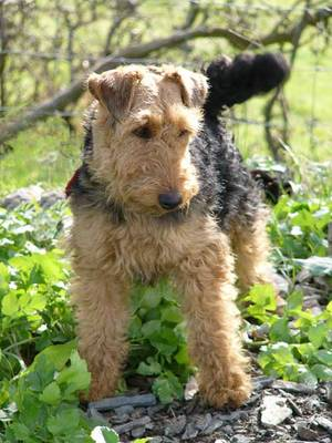Welsh_terrier